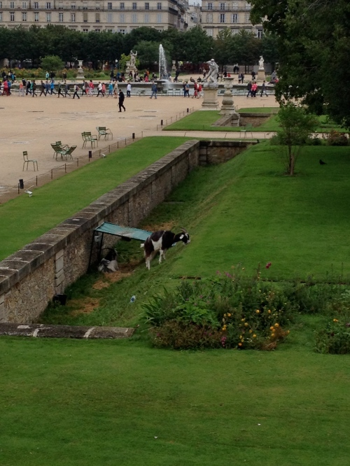 goats grazing in the Tuileries- first time I ever saw that
